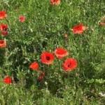 Полски мак билка - Papaver rhoeas
