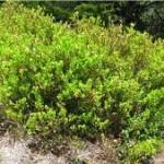 Природа Черна боровинка - Vaccinium myrtillus L