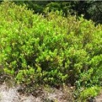 Random image: Природа Черна боровинка - Vaccinium myrtillus L
