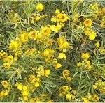 Сена лечебно растение - Cassia acutifolia Del.