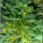 Сена - Cassia acutifolia Del.