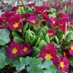 Random image: Цвят на Иглика - Primula