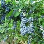 Черна боровинка билка - Vaccinium myrtillus L