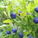 Random image: Черна боровинка плод - Vaccinium myrtillus L