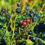 Черна боровинка храст - Vaccinium myrtillus L