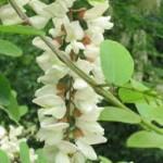 природа Бяла акация - Robinia Pseudoacacia L.