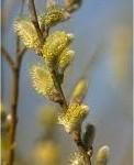 Бяла върба млада клонка - Salix alba