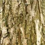 Бяла върба стебло - Salix alba