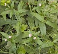 Върбовка дребноцветна листа - Epilobium parviflorum