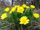 Горицвет пролетен лечебно растение - Adonis vernalis L.
