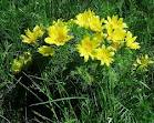 Горицвет пролетен - Adonis vernalis L.