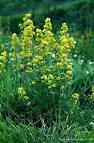 Random image: Еньовче  лечебно растение - Galium verum