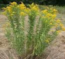 Random image: Жълт енчец билка – Solidago virgaurea L.
