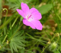 Здравец кръвен билка  - Geranium sanguineum L.