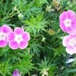 Здравец кръвен лечебно растение - Geranium sanguineum L.