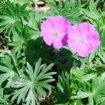 Здравец кръвен листа - Geranium sanguineum L.