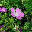 Random image: Здравец кръвен - Geranium sanguineum L.