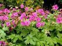 Здравец обикновен в градината - Geranium macrorrhizum