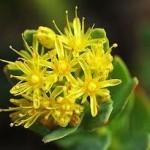 Златен корен билка - Rhodiola rosea L.