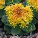 Златен корен - Rhodiola rosea L.