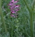 Random image: Лечебен росопас билка - Fumaria officinalis L.