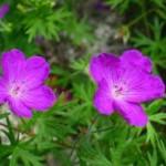 Цветове на Здравец кръвен - Geranium sanguineum L.