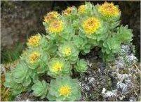 билка Златен корен - Rhodiola rosea L.