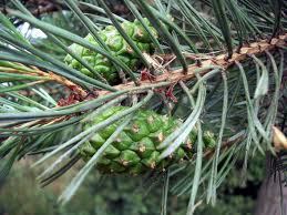 Бял бор клонка - Pinus sylvestris