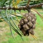 Бял бор шишарка- Pinus sylvestris