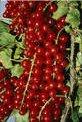 Френско грозде плод - Ribes