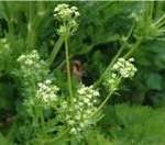 Random image: Целина билка - Apium graveolens