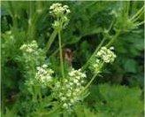 Целина билка - Apium graveolens