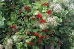 Random image: Червена калина лечебно растение - Viburnum opulus