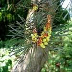 Шишарки на Бял бор - Pinus sylvestris