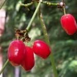 Random image: Обикновен дрян плод - Cornus mas