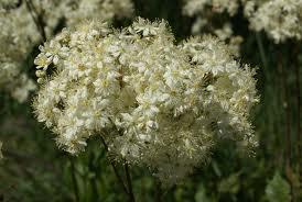 Билка Ливадно орехче цвят– Filipendila vulgaris