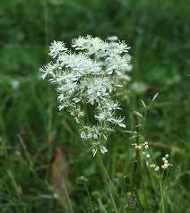 Билка Ливадно орехче – Filipendila vulgaris