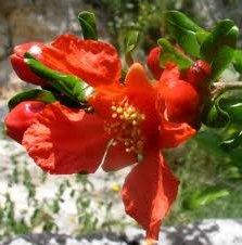 Билка Нар цвят- Punica Granatum L.