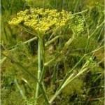 Билка Резене стебло - Foeniculum vulgare
