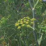 Билка Резене - Foeniculum vulgare