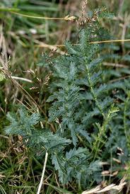 Ливадно орехче листа– Filipendila vulgaris