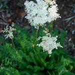 Ливадно орехче – Filipendila vulgaris
