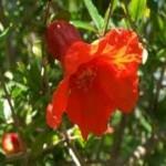 Random image: Нар-дар от природата - Punica Granatum L.