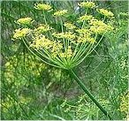 Резене цвят - Foeniculum vulgare
