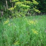Резене - Foeniculum vulgare