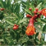 Random image: Стебло на  Нар - Punica Granatum L.