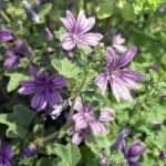 Горски слез билка– Malva sylvestris L.