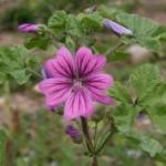Random image: Горски слез цвят– Malva sylvestris L.