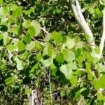 Random image: Трепетлика стебло- Populus Tremula L.