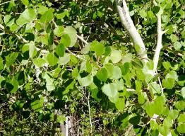 Трепетлика стебло- Populus Tremula L.